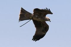 CFR7800 (Carlos F1) Tags: barcelona bird animal spain nikon au ave pajaro raptors birdsofprey pjaro rapaz d300 ocell santfeliudecodines rapinyaire