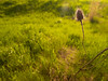 Something old, something new (StephenCaissiePhoto) Tags: sunset field grass closeup spring weeds warm afternoon bokeh lensflare backlit luminous spikes shallowdof phaseone p30