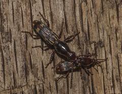 Pair Of Oak Timberworm Beetles (Odonata457) Tags: county mountains male female oak unitedstates maryland catoctin frederick minutus brentidae timberworm arrenodes