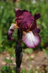 Deep Red Iris (EJ Images) Tags: uk flowers iris england plants slr crimson garden suffolk nikon dslr irises eastanglia wooten 2015 nikonslr d90 nikondslr nikond90 crimsoniris 18105mmlens ejimages wootenirisfield dsc0360c1