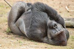 2015-07-16-11h35m53.272P4382 (A.J. Haverkamp) Tags: netherlands zoo gorilla thenetherlands beeksebergen kidogo noordbrabant dierentuin hilvarenbeek safariparkbeeksebergen westelijkelaaglandgorilla canonef14xiiextender pobapeldoornthenetherlands dob17041998 httpwwwsafariparknl canonef500mmf4lisiiusmlens