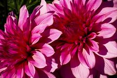 Dahlias (San Francisco Gal) Tags: jardinduluxembourg paris dahlia flower fleur macro bloom blossom platinumheartaward