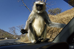 _DSC2474_DxO (Alexandre Dolique) Tags: d810 inde udaipur rajasthan singe monkey attaque attack india