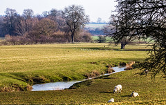 Pastoral Scene (2) (Peter Leigh50) Tags: river sence wistow sheep crow gull sunshine trees field farmland