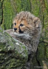 6 weken oud  Cheetah (ditmaliepaard) Tags: cheetah safaripark beeksebergen hilvarenbeek doorhetraam coth specanimal ngc npc