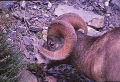 IMG_0056 (Rock Rabbit Photo) Tags: scans sheep horns bighorn rams slides