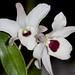 Dendrobium Nagasaki – Sandi Sandquist