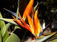 a colorful crest (Riex) Tags: flower nature fleur colorful birdofparadise ektachrome blooming schneiderkreuznach oiseaudeparadis colori variogon eclos z990 kodakeasysharemax