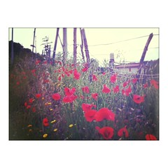 (70) Tags: flowers primavera spring poppy poppies fiori printemps papaveri papavero myriam70 iphoneography instagram