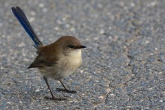 DSC_0431 - Superb Fairy wren (Derek Midgley's Photostream) Tags: cute bird superb path fairy tiny wren curious asphalt malurus cyaneus nikond7100