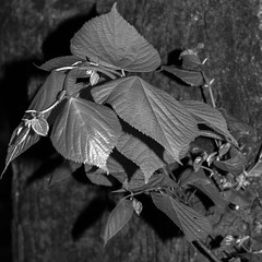 N130521_037 (Tristan Styles) Tags: uk england bw southwest nature leaves bristol blackwhite leaf nikon unitedkingdom d7000 copyright2013tristanstylesallrightsreserved