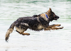 Kastle Swims 2013-06-07-6 (falon_167) Tags: dog shepherd german gsd germanshepherddog kastle