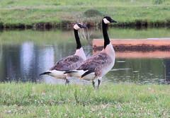 Canada Geese (Backyardbella) Tags: brantacanadensis canadageese