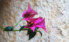 (vale.ph) Tags: pink flowers flower nature canon violet foreground