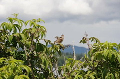 Singing bird (~ Marjolein ~) Tags: canada bird singing vancouverisland whitethroatedsparrow