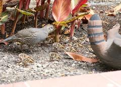 D60_1459 (stephenkirsch) Tags: family cute bird birds nikon g chicks f28 vr afs quail 70200mm d600