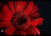 للأحمر جاذبيته - Red attractiveness (Aries Parcum) Tags: red photo amazing جديد attractiveness تصوير ساحر احمر جئاب