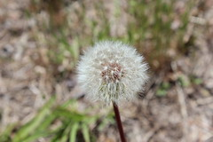 Make a Wish Flower (courtneysodenphotography) Tags: plant flower spring wishing