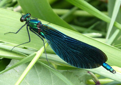 Beautiful Demoiselle. Calopteyx virgo. Male. (gailhampshire) Tags: male beautiful demoiselle virgo calopteyx taxonomy:binomial=calopteyxvirgo