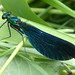 Beautiful Demoiselle  Calopteyx virgo  Male