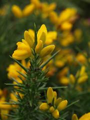 Gorse (ExeDave) Tags: uk plant southwest flower nature yellow geotagged flora july devon heath western gb fabaceae pea wildflower dartmoor southwestern moorland gorse upland h4 ulex 2013 ulexgallii westerngorse yartordown p7273928 geo:lat=50544605 geo:lon=3862461