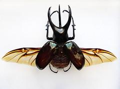 Bornean Chalcosoma with spread wings (NHM Beetles and Bugs) Tags: malaysia borneo sabah scarab kolbe coleoptera scarabbeetle chalcosoma dynastinae flyingbeetle chalcosomamoellenkampi threehornedrhinocerosbeetle ohmygoditsbiggerthanabat