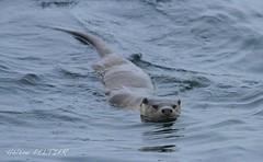 Unst_105 (Hlne Peltier) Tags: shetland unst lutralutra europeanotter