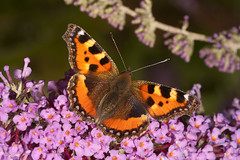 "Small Tortoiseshell Butterfly • <a style=""font-size:0.8em;"" href=""http://www.flickr.com/photos/57024565@N00/9609432890/"" target=""_blank"">View on Flickr</a>"