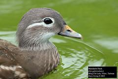 Mandarin Duck (Aix galericulata) (Dave 2x) Tags: female duck taiwan mandarinduck yilan aixgalericulata mingchi daveirving mingchilake httpwwwdaveirvingwildlifephotographycom