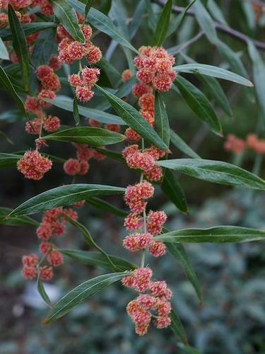 Red Acacia - Red Mimosa -  Cinnamon Wattle (Acacia leprosa)