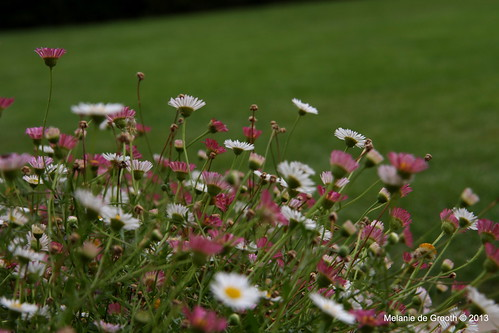 Pink and White Daisies 2