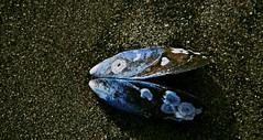 20130901 5500 El pez mejillon (Oiluj Samall Zeid) Tags: sea fish pez playa mussel mejilln