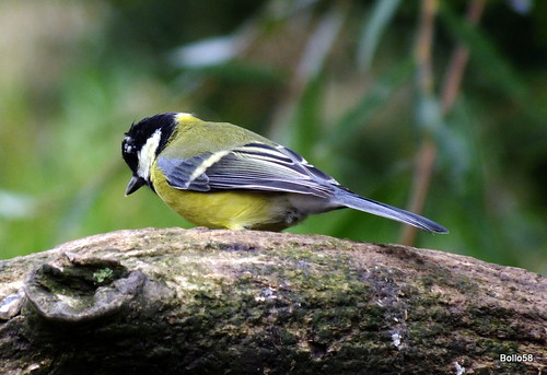 Great Tit - WWT Slimbridge