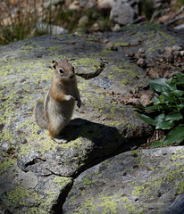 Another native (KimonBerlin) Tags: colorado unitedstates estespark goldenmantledgroundsquirrel