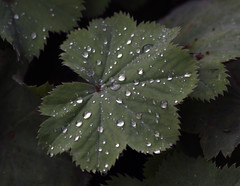 Water droplets on a leaf (Martin D Stitchener PiccAddo Photography) Tags: england photography photo kent flickr nt churchill winstonchurchill nationaltrust chartwell twitter martinstitchener dxhawk