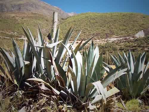 Tequila, Pérou