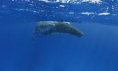Humpback Whale Mother and Calf (Alastair Pollock) Tags: nikon sigma fisheye whale humpback calf 15mm tonga vavau subal alastairpollock