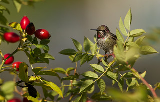 Anna's hummingbird, young male