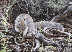 Spotted Ground Squirrel (lyndakmorris) Tags: squirrel ground spotted