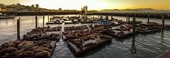 Pier 39 San Francisco sea lions (BillChristian) Tags: flickrstock