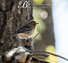Magnolia Warbler - Fall (Bella Remy Photography) Tags: birds sandypoint 2013