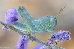Orthoptera (gatorlink) Tags: nature grasshopper orthoptera 6d canonmpe65mmf2815xmacrophoto zerenestacker