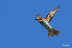 (120) European Bee-eater - [ Faro, Portugal ] (tinyfishy's World Birds-In-Flight) Tags: bird portugal faro flying inflight europe european algarve flycatcher beeeater europeanbeeeater