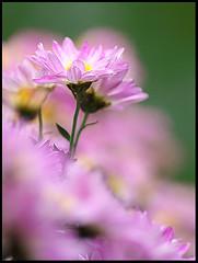 Beautiful flower, Chrysanthemum  (d-k-t) Tags: flower hongkong m42 sonnar gh3 wunchuensinkoon panasonicdmcgh3 1030837