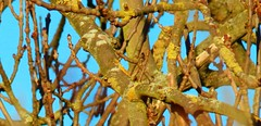 PC250002 (gillkenn) Tags: winter tree lichen