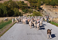 O pastor grego, o co e as cabras! The greek goatherd, the dog and the goats! (mateuspabst) Tags: dog grecia pabst pastor mateus ovelha ovelhas mateuspabst