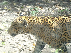 jaguar (sftrajan) Tags: beautiful mxico forest cat mexico zoo adorable bigcat bosque spotted jaguar chiapas felid catamount spottedcat felidae tuxtla yaguar pantheraonca tuxtlagutirrez zoomat jardnzoolgico zoolgicomiguellvarezdeltoro