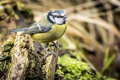 Blue Tit (cupra_jamie) Tags: blue cute birds tit feathers feather marsh wren feathered gardenbirds