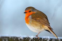 IMG_4461 (Yorkshire Pics) Tags: orange snow robin birds wildlife redbreast winterbirds in robinredbreast britishbirds birdsinsnow ukwildlife icebirds birdsinwinter birdsinice birdsinfrost frostbirds