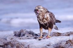 Bottoms Up! (PeterBrannon) Tags: canada ice nature novascotia eating wildlife vole lawrencetown birdofprey roughleggedhawk buteolagopus atlanticcanada lightmorph avianexcellence d7000 sigma150500mm peterbrannon